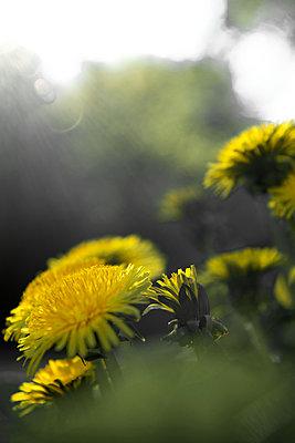 Löwenzahn Blüten und Knospen - p533m2015599 von Böhm Monika