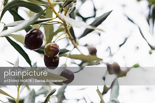 Oliven, Laigueglia, Provinz Savona, Riviera di Ponente, Ligurien, Italien - p1316m1160878 von Daniel Schoenen