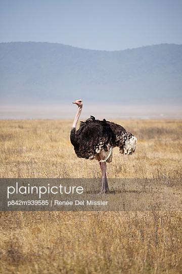 Male ostrich - p842m939585 by Renée Del Missier