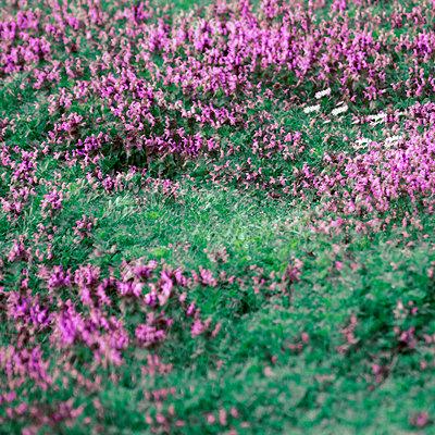 Lilafarbene Blumen, Mehrfachbelichtung - p1640m2245921 von Holly & John