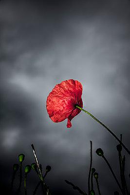 Rote Mohnblume vor Grauem Himmel - p248m1465031 von BY