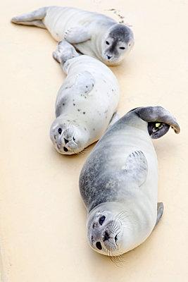 Junge Seehunde - p1221m1124890 von Frank Lothar Lange