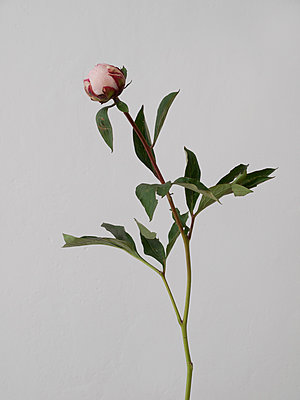 Rose - p444m1041323 by Müggenburg