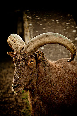 Goat - p4451333 by Marie Docher