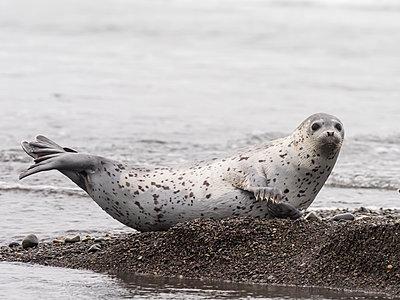 Adult spotted seal (Phoca largha) hauled out on the beach near Meynypilgino, Chukotka, Russia, Eurasia - p871m2143246 by Michael Nolan