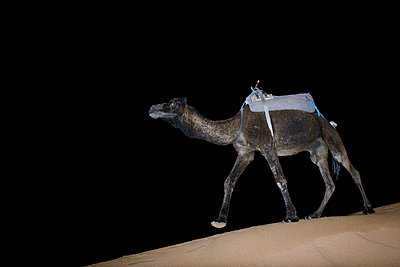 A dromedary in the desert at night Morocco - p312m1076632f by Roine Magnusson
