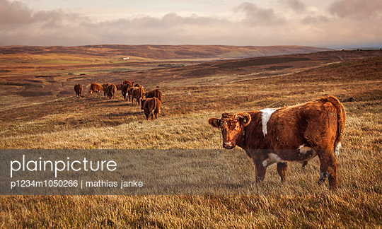 Cattle - p1234m1050266 by mathias janke