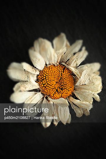 Daisy - p450m2108827 by Hanka Steidle