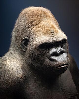 Gorilla - p1214m1116211 by Janusz Beck