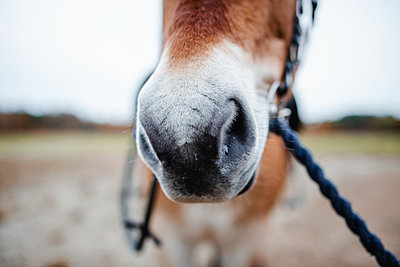 Close-up of horse snout - p312m2249501 by Anna Johnsson
