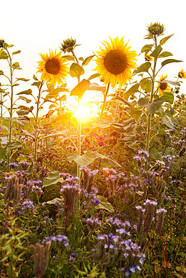 Sunflowers in the backlight - p533m1556551 by Böhm Monika