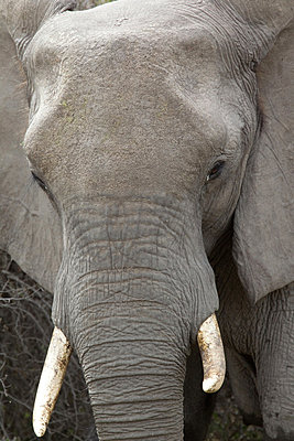 African elephant - p9242734f by Image Source