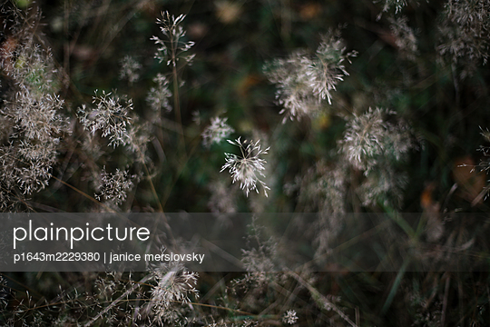 Grasses at twilight, close-up - p1643m2229380 by janice mersiovsky
