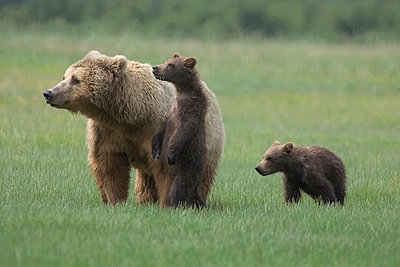 Grizzly Bear adult female with two yearling cubs on sedge flats - p8844458 by Matthias Breiter