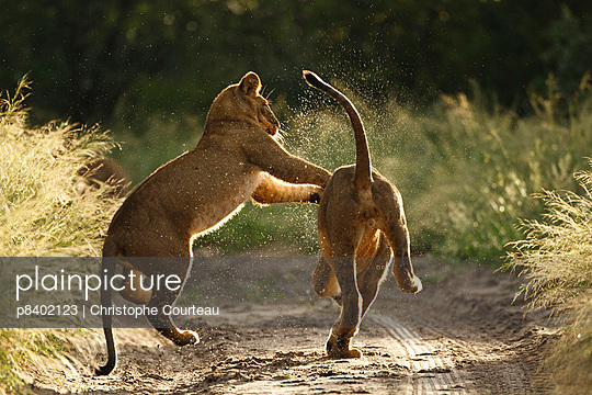 Two African lion cubs playing on a road in the Kalahari Desert - p8402123 by Christophe Courteau