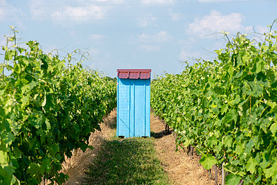 Blue Shed in a Vineyard - p1560m2168053 by Alison Morton
