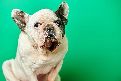 Studio portrait of white French Bulldog - p300m2198475 by Kiko Jimenez