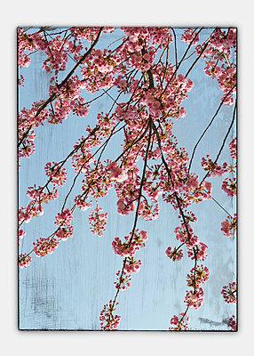 Germany, Stuttgart, Cherry blossom seen through window, collage, close-up - p300m877910 by Anja Weber-Decker