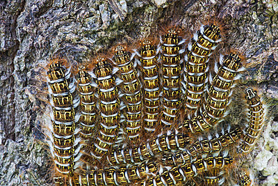 A cluster of catepillars congregate on a tree; Bolivia - p442m940855f by Robert Postma