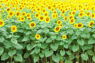 Field of sunflowers, full frame - p5146232f by amanaimagesRF