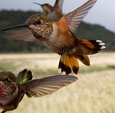 Rufous Hummingbird trio flying - p884m863691 by Matthias Breiter