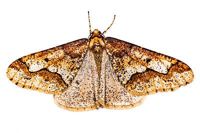 Großer Frostspanner (Erannis defoliaria) - p1501m2086646 von Alexander Sommer