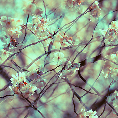 Branches and white blossoms, multiple exposure - p1640m2242047 by Holly & John