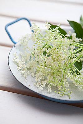 Holunderblüten - p441m886171 von Maria Dorner