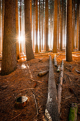 Sunburst through tree at Sugar Pine plantation. Bargo State Forest, Snowy Mountains, New South Wales, Australia - p651m2135716 by Richard Stanley