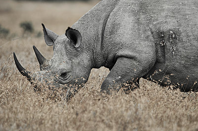 Portrait of rhinoceros, Kenya - p706m2158453 by Markus Tollhopf