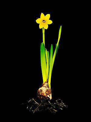 Daffodil in studio - p8100023 by Axel Schmidt