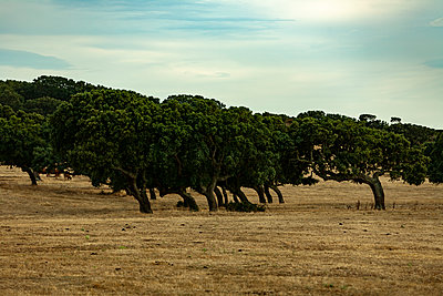 Cork Oak - p280m2253501 by victor s. brigola