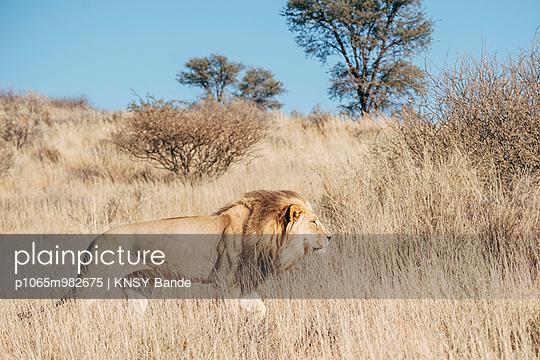 Ein Löwe in der Savanne, Kalahari, Südafrika - p1065m982675 von KNSY Bande