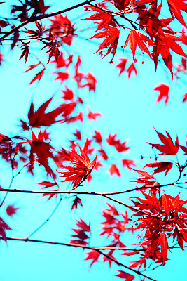 Japanese maple - p450m2184471 by Hanka Steidle