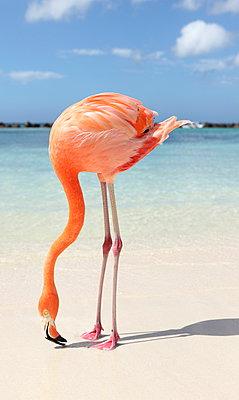 Flamingos at Aruba - p045m912537 by Jasmin Sander