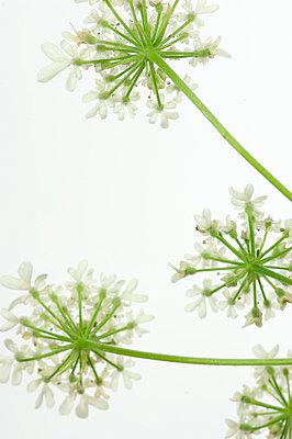 Schafgarbenblüten - p4010405 von Frank Baquet