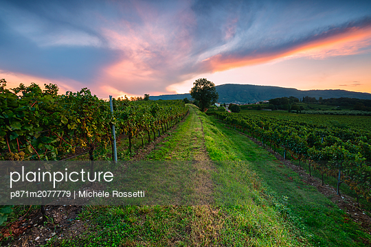 Vineyard at sunset in Franciacorta, Italy - p871m2077779 by Michele Rossetti