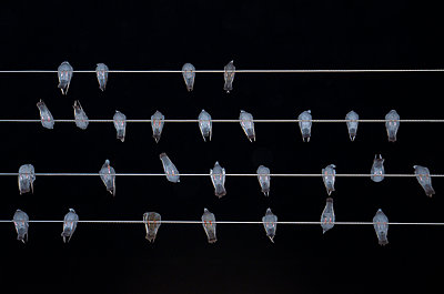 Nighttime Birds on Electricity Wires - p1072m941371 by chinch gryniewicz