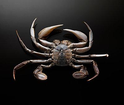 Bottom view of crab against black background - p429m1155505 by Bruno Gori
