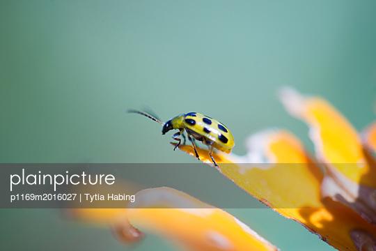 Ladybug on flower  - p1169m2016027 by Tytia Habing