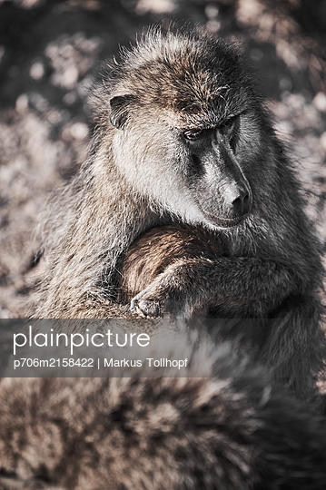 Portrait baboon and  - p706m2158422 by Markus Tollhopf
