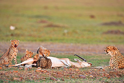 Cheetahs with grant's gazelle - p533m982461 by Böhm Monika