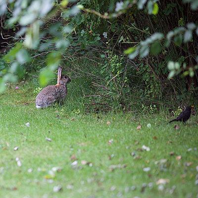Amsel und Kaninchen  - p606m1217635 von Iris Friedrich
