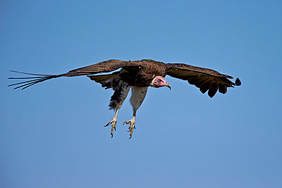 Hooded vulture  in flight on approach to landing, Ngorongoro Conservation Area, Serengeti, Tanzania, East Africa, Africa - p871m1056794f by James Hager