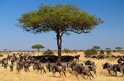 Herd of Blue Wildebeest - p871m884423 by Tim Graham
