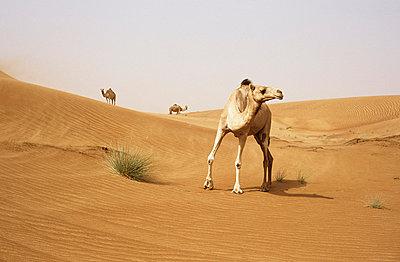 Kamele in der Wueste - p2685211 von Christof Mattes
