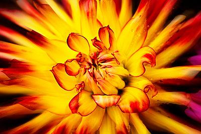 Yellow red dahlia, close-up - p300m1505875 by Dieter Heinemann