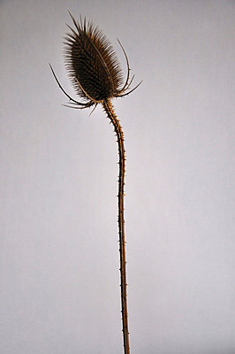 Teasel in studio - p8760037 by ganguin