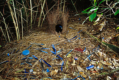 Satin Bowerbird male displaying blue objects near the bower to attract the female - p8844529 by Cyril Ruoso
