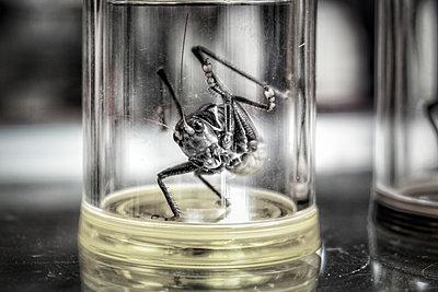 Glas mit einer lebendigen Kampfgrille, Shanghai - p1243m1059598 von Archer